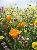 How to Plant Wildflower Seeds thumbnail