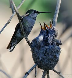 Mama Hummingbird with the Babies. :)