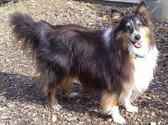 Rascal Is An Adoptable Shetland Sheepdog Sheltie Dog In Charlottesville Va Have You Been Searching For Dog Activities Sheltie Dogs Scottish Animals