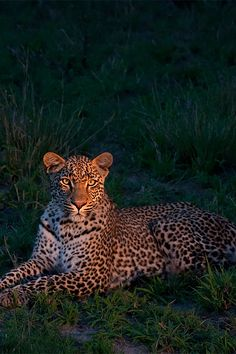 Leopards are found throughout much of Subsaharan Africa, although they are notoriously hard to find! #Africa #Safari