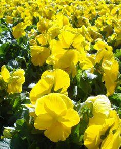 Pansy, yellow flower, fall annual, spring, annual, sun, partial sun
