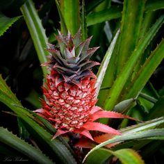 Red Pineapple by Lisa Kohnen Pineapple, Lisa, Fruit, Nature, Red, Naturaleza, Pine Apple, Nature Illustration, Off Grid