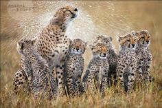 Katzenwäsche a la Serengeti
