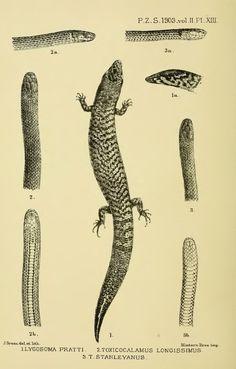 Descriptions of new reptiles from British New Guinea - BioStor