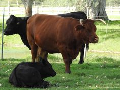 Tubac Cattle