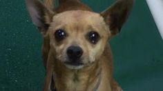 Jose is an adoptable Chihuahua Dog in Salt Lake City, UT. He is a cute little guy that likes to sit in your lap.� He can be shy at first. Adoption includes: Spay/Neuter, current Vaccinations, De-wormi...
