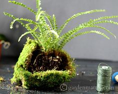 How to make Kokedama or moss balls to create a hanging string garden. This fun garden craft can me made in under an hour. Small Plants, Cool Plants, Indoor Plants, Indoor Gardening, Diy Garden Projects, Garden Crafts, Garden Art, Growing Moss, Bonsai Tree Care