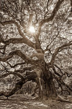 Angel Oak...love this! For a Tattoo design. Nature is such a great inspiration for me.