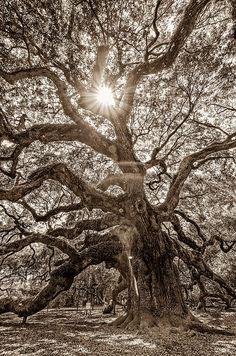 Angel Oak- Sun Beam