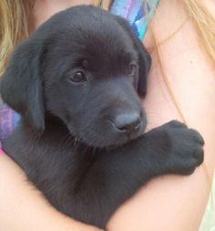 Mind Blowing Facts About Labrador Retrievers And Ideas. Amazing Facts About Labrador Retrievers And Ideas. Labrador Puppy Training, Labrador Puppies For Sale, Black Lab Puppies, Cute Dogs And Puppies, I Love Dogs, Doggies, Labrador Dogs, Golden Labrador, Corgi Puppies