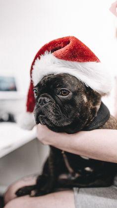 Christmas Dolly French Bulldog, Friends, Dogs, Christmas, Animals, Amigos, Xmas, Animales, Animaux