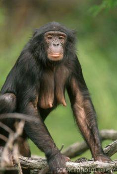 Z9120222-Female_Bonobo-SPL.jpg (236×350)