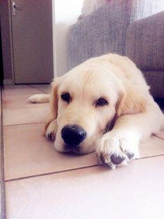 #Dog - #Golden #Retriever - Ice