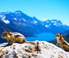 Meet the locals of Waterton. Photo of these cheerful squirrels taken by @jprudder. See them yourselves this weekend with a hike up Bears Hump @instahikes | #explorealberta http://vnat.ca/1seeN6z #ViralInNature