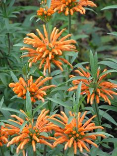 Leonotis leonurus... hummingbirds love these, I've grown them several times.. they are so tall!