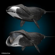 The Bowhead whale, by far, has the longest lifespan of any living creature - 200 years. It also has the largest mouth.