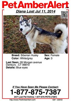 A White/Grey Siberian Husky Dog Lost in Danbury , CT 06810