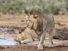 Male Lions Panthera Leo), Addo National Park, Eastern Cape, South Africa, Africa