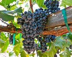 Sangiovese:  Sorelle Vineyards; Lodi AVA