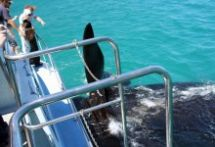 Book your whale watching safari today with Ivanhoe Sea Safaris near Hermanus, South Africa - Dirty Boots Adventure Activities, Fishing Villages, Whale Watching, Great View, Mammals, South Africa, Safari, Cruise, Boat