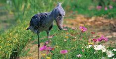 El Shoebill es nativa de las zonas tropicales de África oriental y también se encuentra en el pantano regiones de Sudán, así como Zambia. El ave está considerada como especie vulnerable por BirdLife International, debido al hecho de que el hábitat natural de las aves está siendo destruido por la modernización de muchas zonas, así como la caza de la especie.