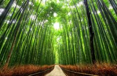 Bamboo Path, Kyoto. | 14 Magnificent Tree Tunnels:  This pathway is 500m long, and runs through the Sagano Forest, one of Japan's most beautiful bamboo forests. Via: english.zhangjiajie.gov.cn
