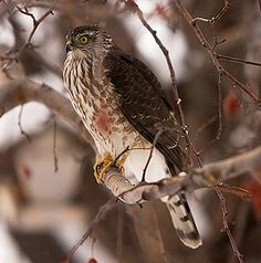 Sharp-shinned Hawk. One lives by our house.  He watches us when I walk the dogs.