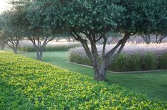 Moroccan layers - jasmine hedge, olive trees and Pennisetum grasses and