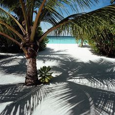 13 best palm trees sandy beaches images on pinterest nature palm tree on sandy beach m4hsunfo