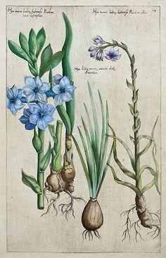Plate from Florilegium Amplissimum et Selectissimum (1612)by Emanuel Sweert (1552-1612).  http://www.theantiquarium.com/emanuel-sweertWikimedia.