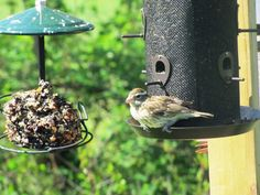 A Female Grosbeak