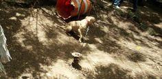 Peleas de perros clandestinas: un mundo de crimen dinero y...