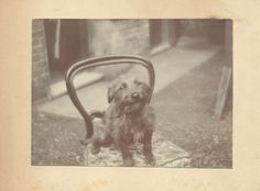 Vintage photograph of a loved dog. Circa 1920/30.