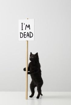 Cat taxidermy