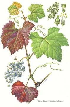 1958 Leaves and Fruits of the Common Grape by CabinetOfTreasures, $16.95
