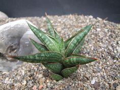Sansevieria bella Mutomo' CG228.1