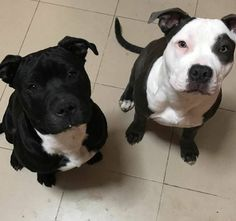 We're the Prettiest Pitties. Take Us Home!⭐ #pitbull