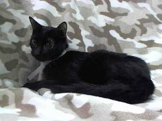 TO BE DESTROYED 4/19/14 ** One year old Tres has lost his home, his family and now he's about to lose his life. Please help him tonight!! ** Manhattan Center  My name is TRES. My Animal ID # is A0996454. I am a female black domestic sh mix. The shelter thinks I am about 1 YEAR  I came in the shelter as a SEIZED on 04/12/2014 from NY 10030, owner surrender reason stated was OWN EVICT.