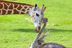 http://www.boredpanda.com/unusual-animal-friendships-interspecies/Bea the Giraffe and Wilma the Ostrich