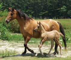 Marsh Tacky Horse mare and foal