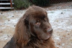 Zeus, our Newfoundland dog, in the snow. What a face.