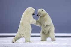 """Are they dancing? Giving each other a """"high five""""? Handshake? Sumo? I think this image could have so many different captions. In reality these are second-year cubs playing with each other on a string of barrier islands off the coast of Alaska.  www.studebakerstudio.com/alaskamammals"""