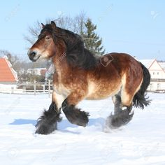 24261820-Precioso-caballo-de-tiro-holand-s-con-larga-melena-que-se-ejecuta-en-la-nieve-en-invierno-Foto-de-archivo.jpg (1300×1300)