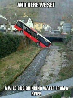 and here we see a wild bus drinking water from a river.