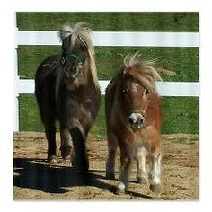Cute Miniature Horses Shower Curtain  Adorable picture of two miniature horses in their corral. Do you know someone who has mini horses? If so, then this would be a perfect gift.