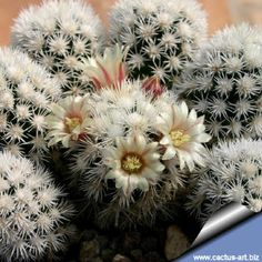 Mammillaria грацильные резюме. ARIZONA SNOWCAP