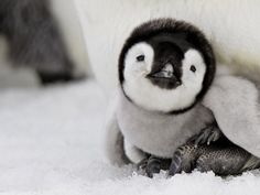 You don't like to be alone for too long and prefer the company of others. Your community is everything to you and you will help every man or woman immediately. Oh, and You also like goofing around and making snow angels I am Baby Penguin! Which Baby Animal Are You?