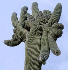The giant saguaro is an extremely  strange plant to begin with, and even more bizarre when it grows a 'crest'.  Many theories exist, the best is from damage to the apex from a mechanical cause or freezing.