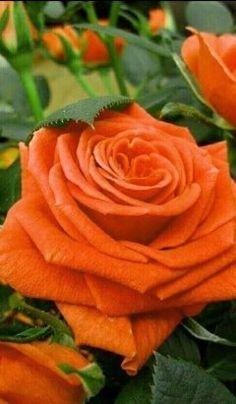 Orange Rose - My site Beautiful Rose Flowers, Exotic Flowers, Amazing Flowers, My Flower, Beautiful Flowers, Orange Flowers, Red Roses, Roses Only, Rosa Rose