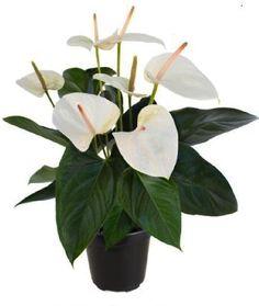5-plantas-que-purificam-o-ar-anturio-branco